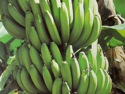A crop of fresh Geest bananas.