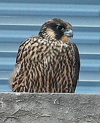 Peregrine falcon on the Newton building - photo by Sean Browne