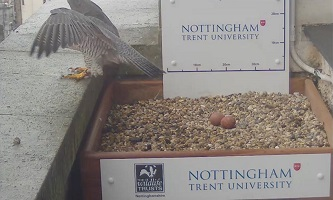 Two peregrine eggs in the nest on NTU's Newton building