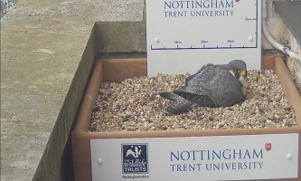 Incubation of the four peregrine eggs has begun